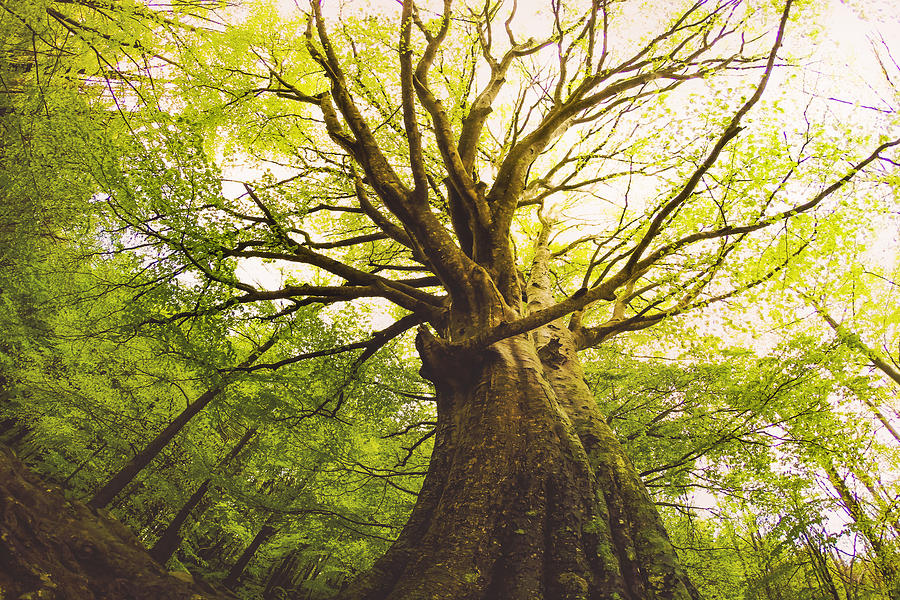 Beautiful beech tree taken directly from below with nice and old trunk during springtime with beautiful green colors in the Montseny nature reserve in the Catalonia region. Photograph by Artur Debat