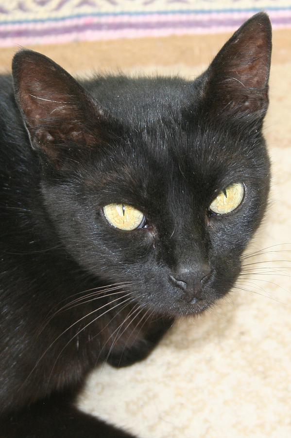 Black Photograph - Beautiful Black Cat Portrait  by Tracey Harrington-Simpson