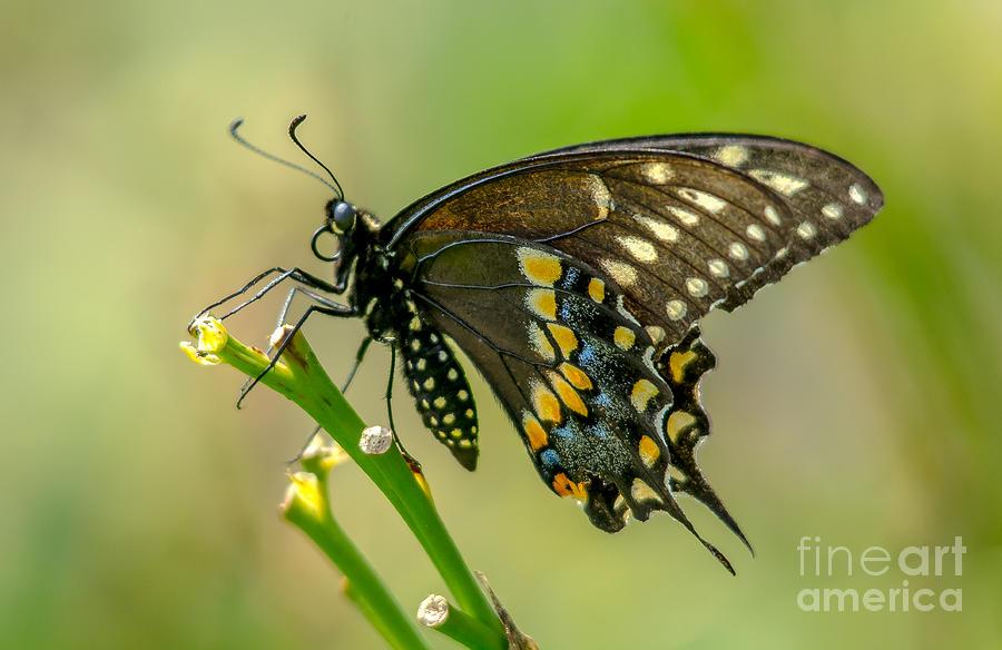Canada Photograph - Beautiful Black Swallowtail by Cheryl Baxter