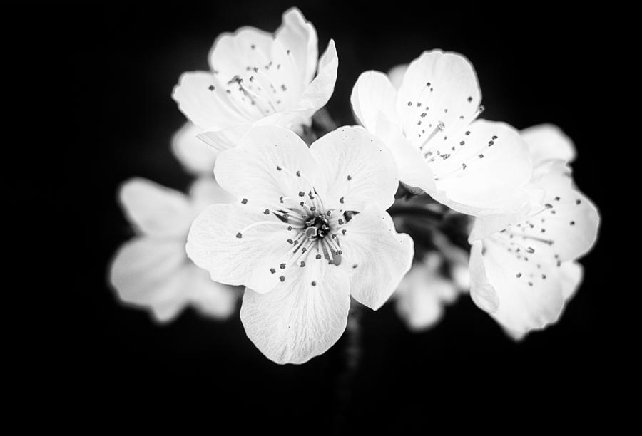 Beautiful Blossoms In Black And White Photograph
