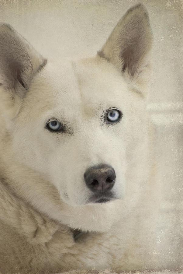 Sasha Photograph - Beautiful Blue Eyes by Cindy Rubin