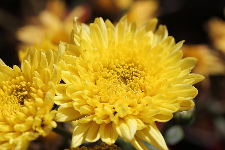 Beautiful bright yellow chrysanthemum flowers photograph by santhosh abstract photograph beautiful bright yellow chrysanthemum flowers by santhosh kumar mightylinksfo