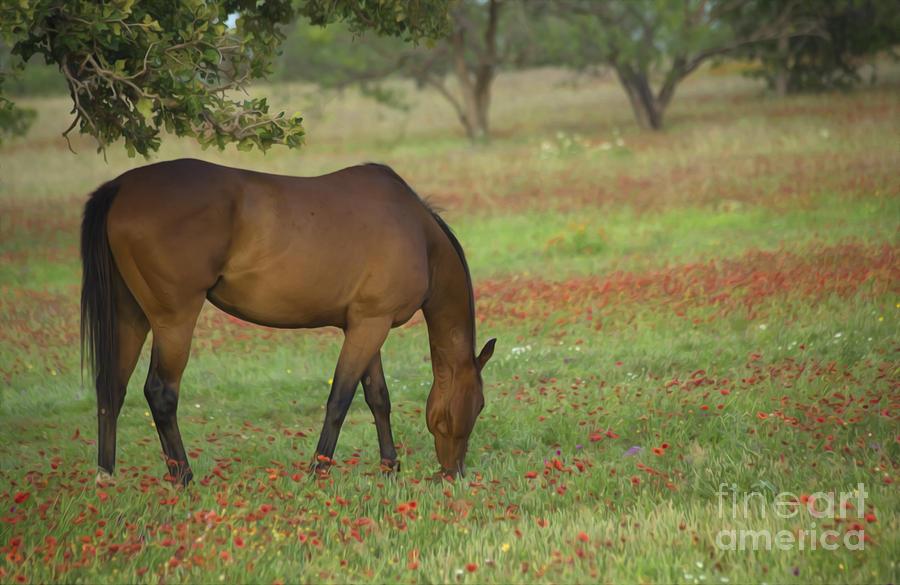 Beautiful Brown American Quarterhorse In Field Of Red Firewheel Photograph