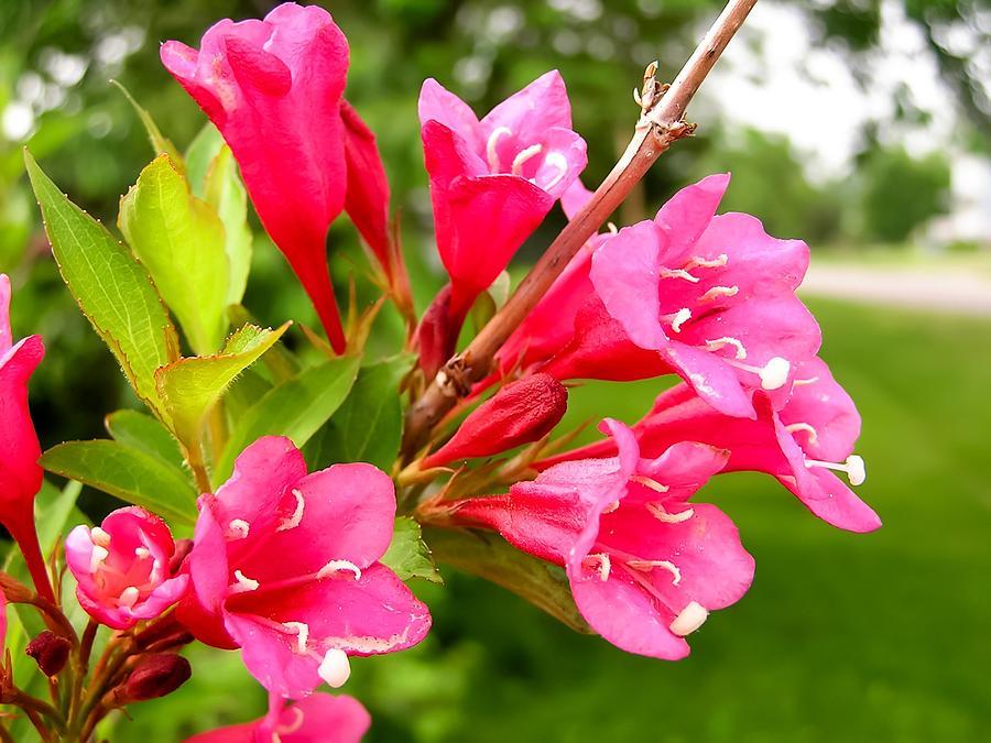 Beautiful Cardinal Bush Flowers Photograph By Cynthia Woods