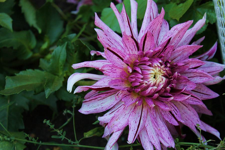 Flower Photograph - Beautiful Dahlia by Victoria Sheldon