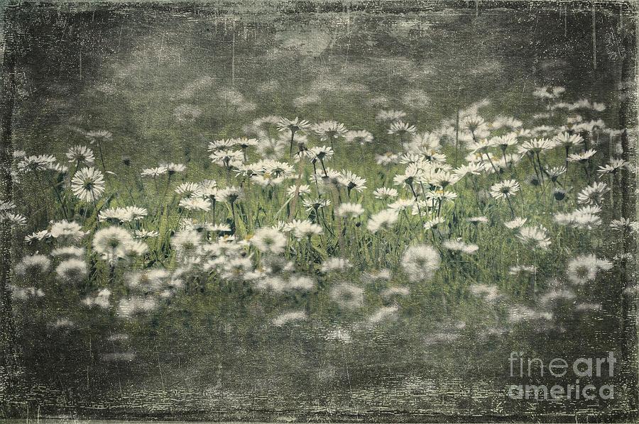 Anniversary Photograph - Beautiful Daisies by Svetlana Sewell