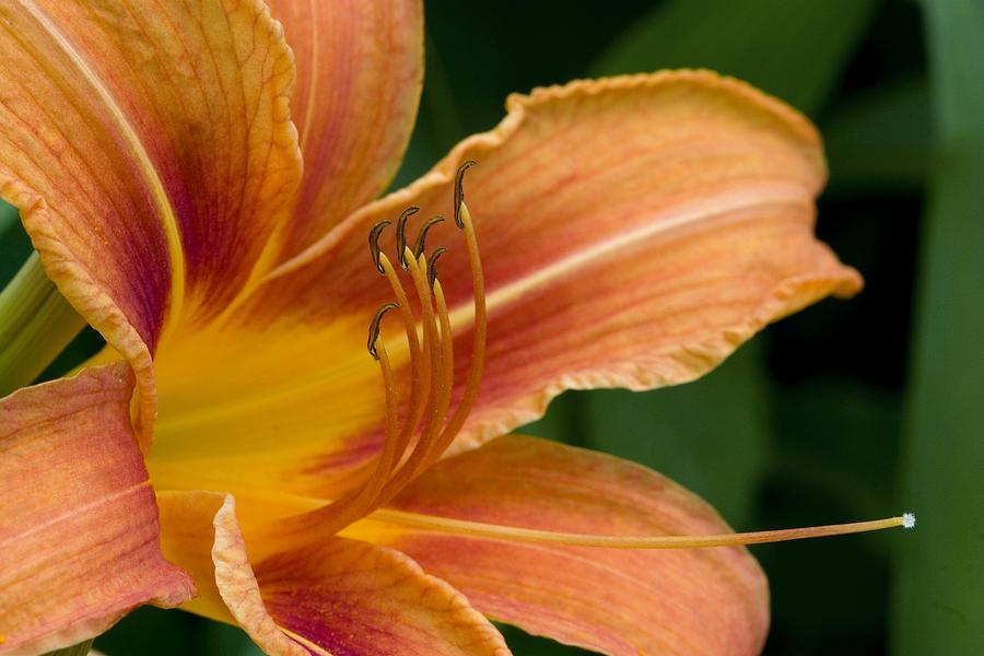 Lily Photograph - Beautiful Daylily by Gene Walls
