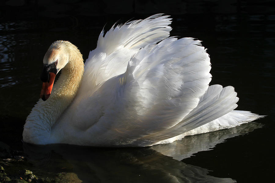 Swan Photograph - Beautiful Display by Donna Kennedy