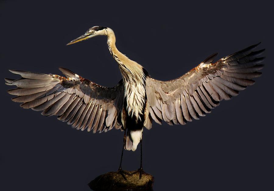 Great Blue Heron Photograph - Beautiful Great Blue Heron - # 16 by Paulette Thomas
