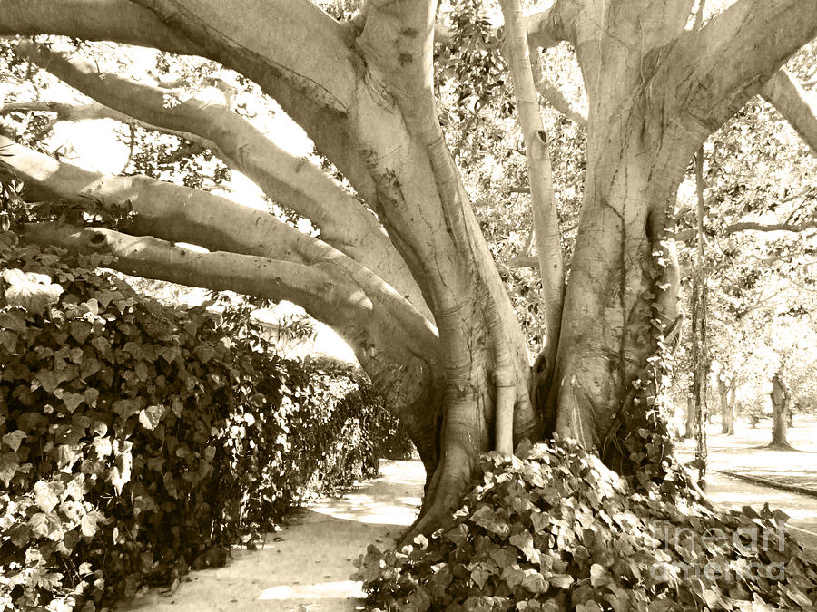 Scenery Photograph - Beautiful Griffith Park Huge Trunk Tree Sepia Black White Vintage Earthy Fine Art Decorative Print by Marie Christine Belkadi