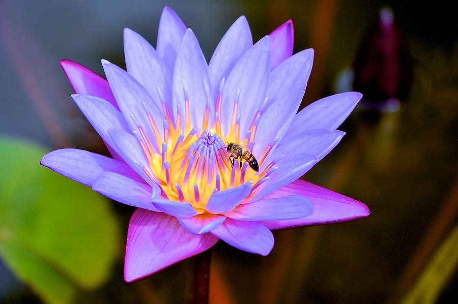 Lotus Photograph - Beautiful Lily And Visiting Bee by Kristina Deane
