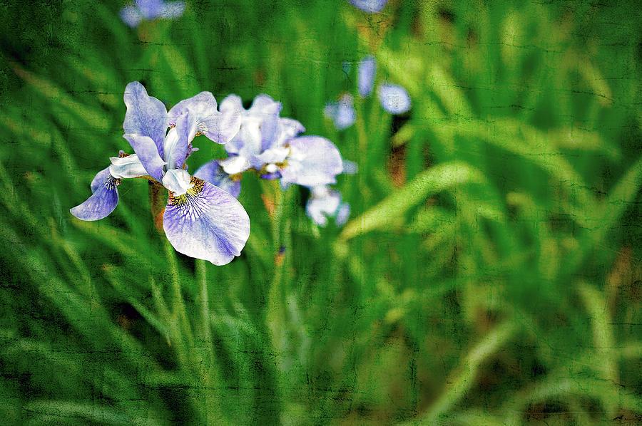Iris Photograph - Beautiful Louisiana Hybrid Iris by Marianne Campolongo
