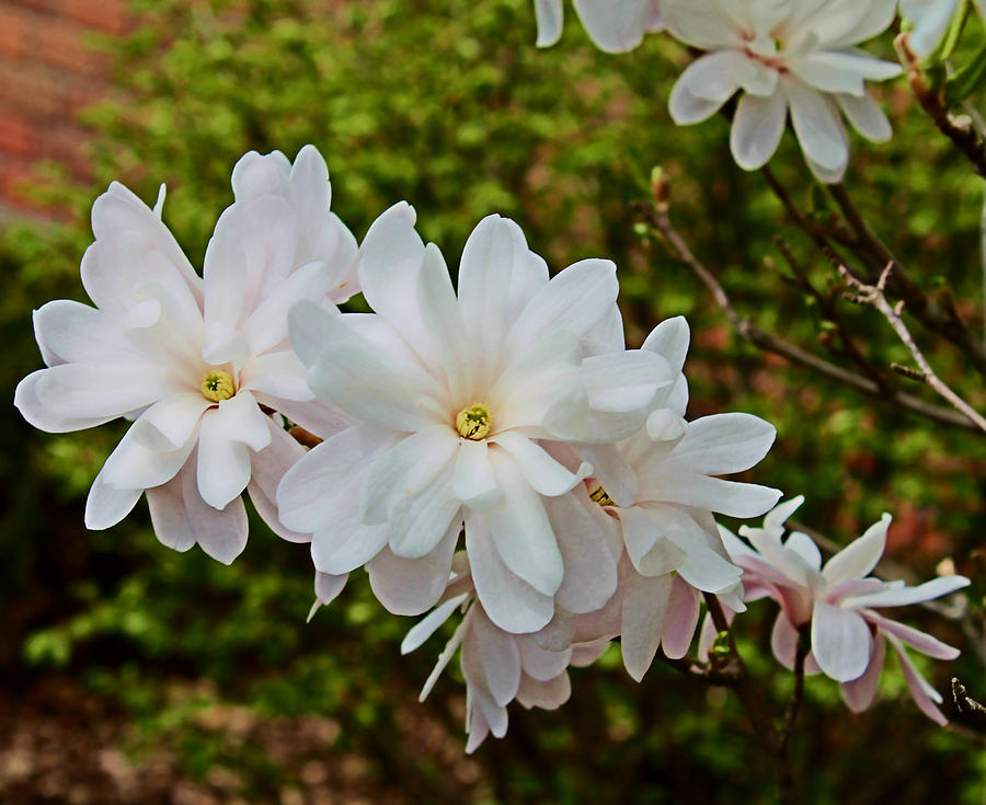 Flowers Photograph - Beautiful Magnolias 2 by Victoria Sheldon