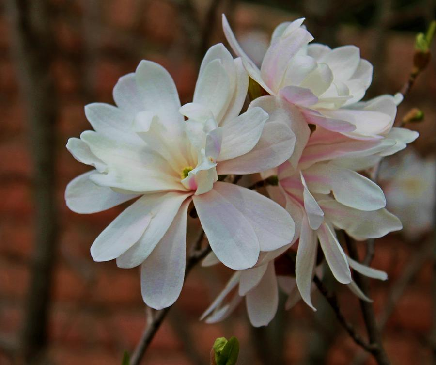 Flowers Photograph - Beautiful Magnolias by Victoria Sheldon