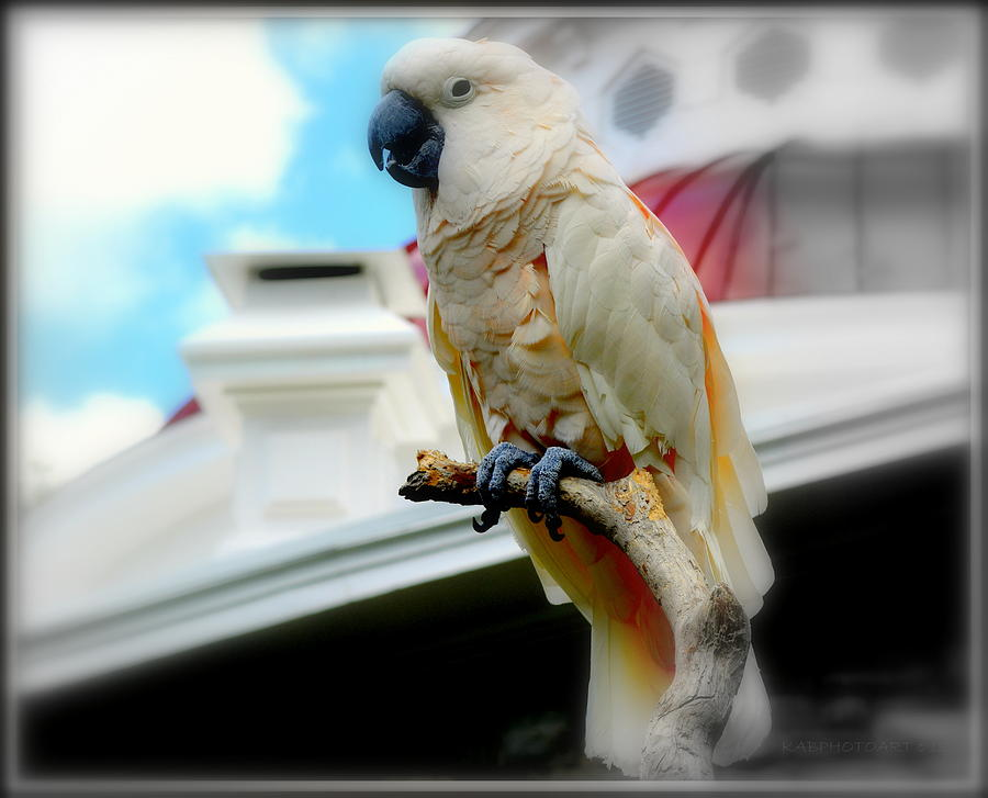 Beautiful Salmon-Crested Cockatoo by Kathy Barney