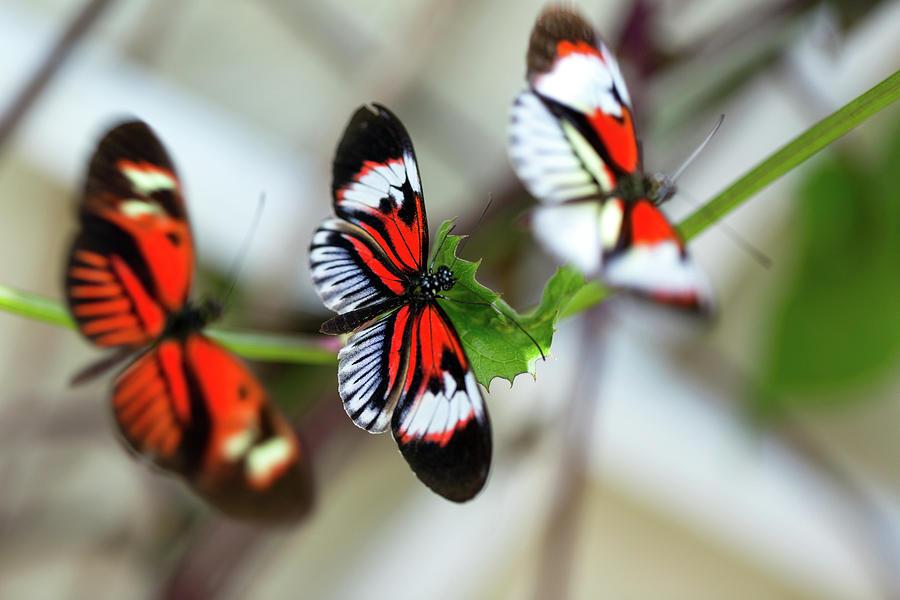 Beautiful Orange Butterflies Mating Photograph by Jodijacobson