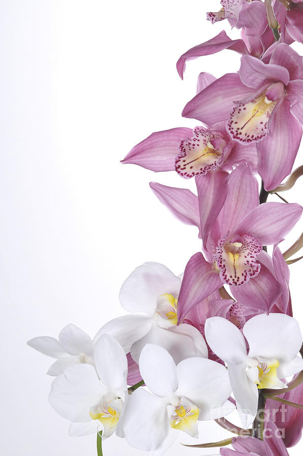 Beautiful Photograph - Beautiful Orchid Pink by Boon Mee