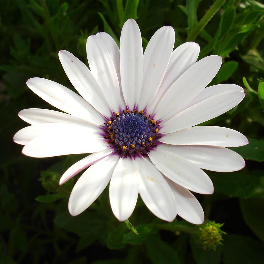 Beautiful Osteospermum White Daisy With Purple Center Photograph By