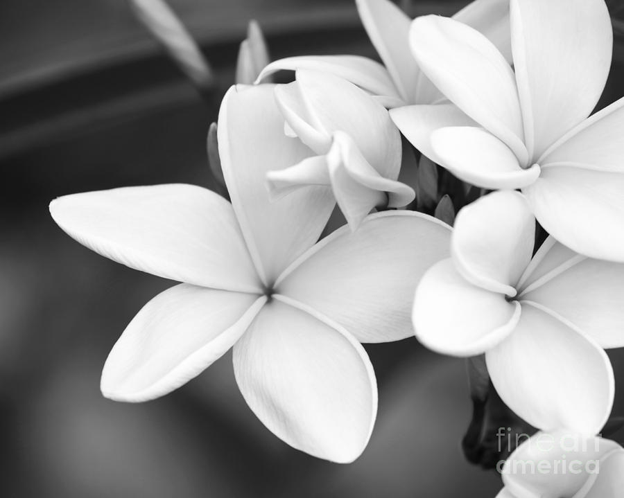 Beautiful Plumeria In Black And White Photograph By