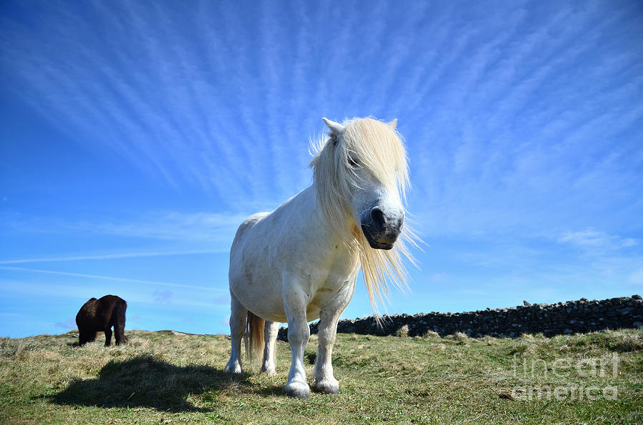 Cornwall Photograph - Beautiful Poney Grazing Near The Lizard - Cornwall by OUAP Photography