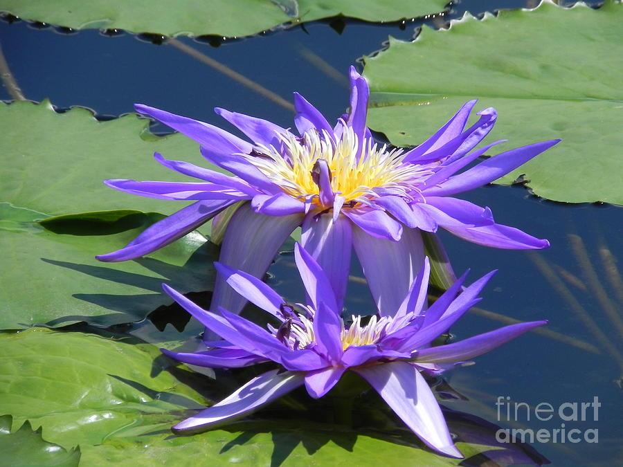 Photography Photograph - Beautiful Purple Lilies by Chrisann Ellis