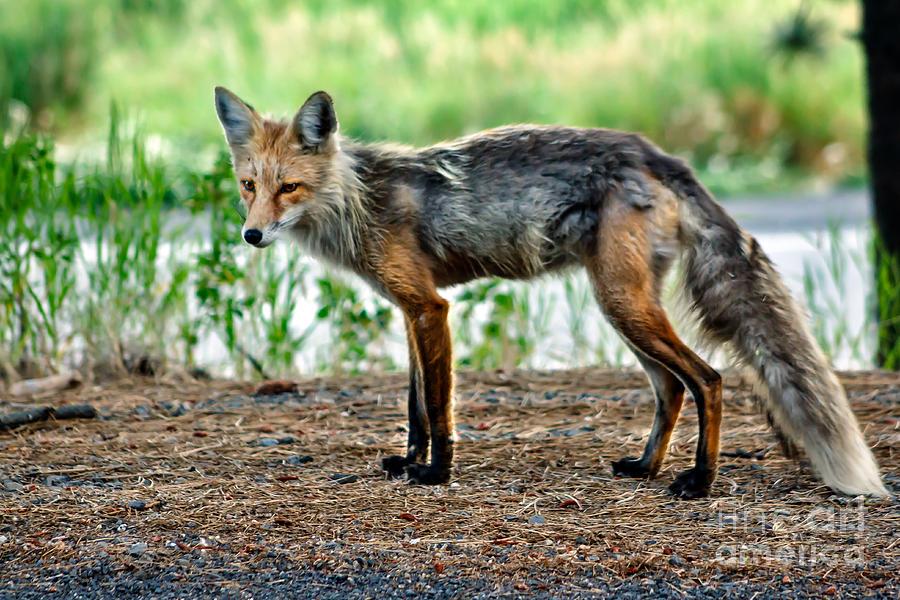 Vulpes Vulpes Photograph - Beautiful Red Fox by Robert Bales