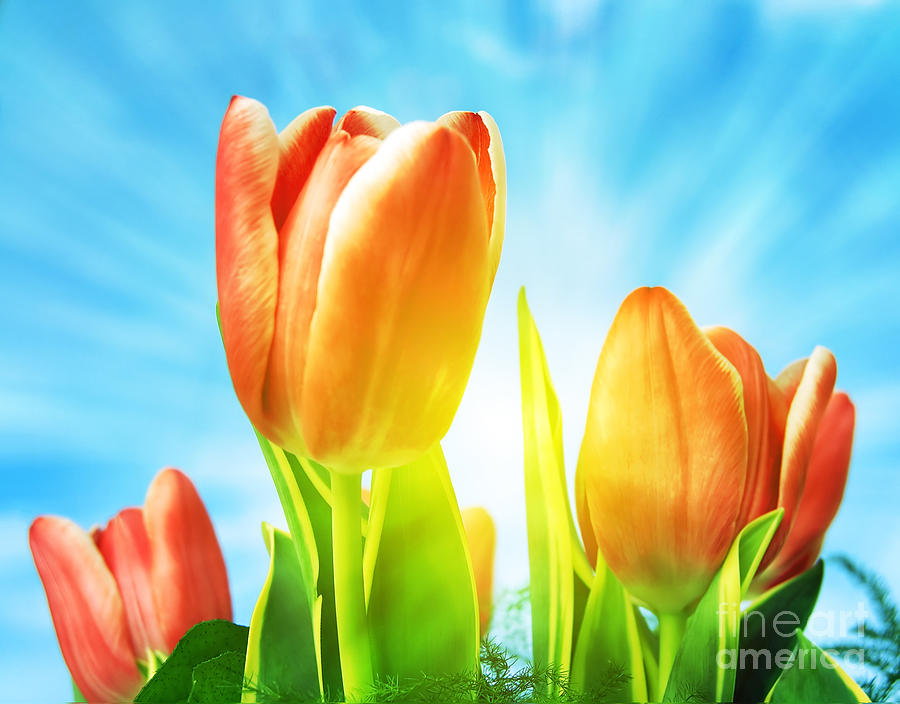 Background Photograph - Beautiful Spring Tulips Background by Michal Bednarek