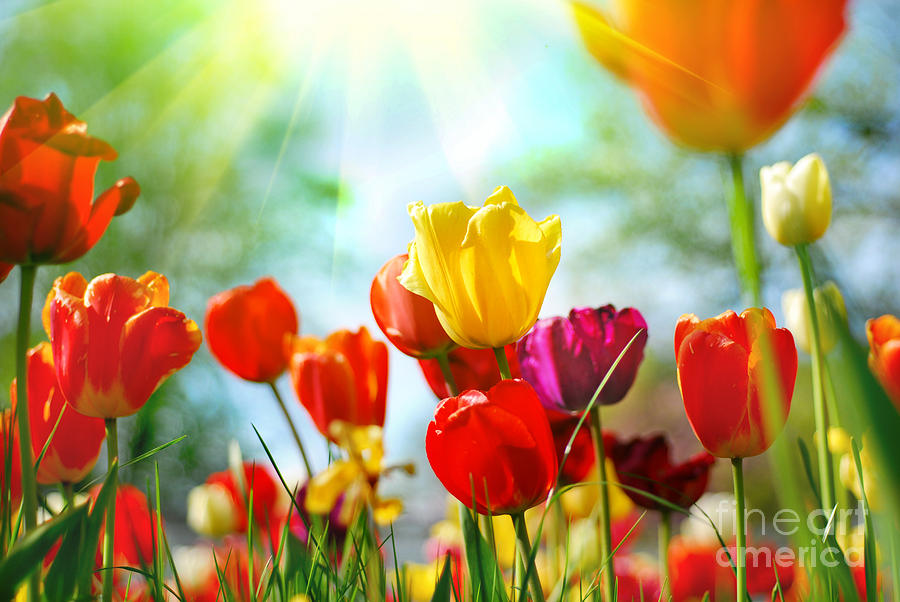 Beautiful Photograph - Beautiful Spring Tulips by Boon Mee