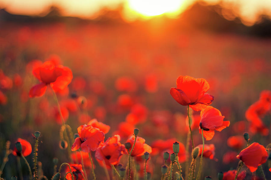 Beautiful Sunset Over Poppy Field Photograph by Levente Bodo