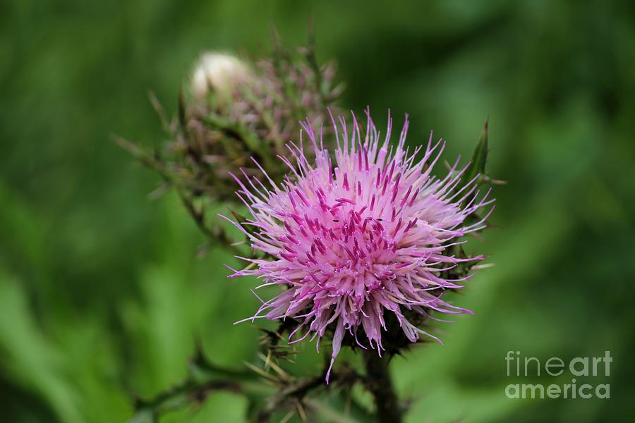 Wildflowers Photograph - Beautiful Thistle by Theresa Willingham