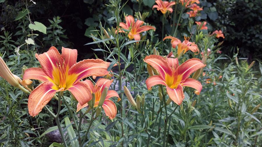 Tiger Lilies Photograph - Beautiful Tiger Lilies by Lisa Wormell