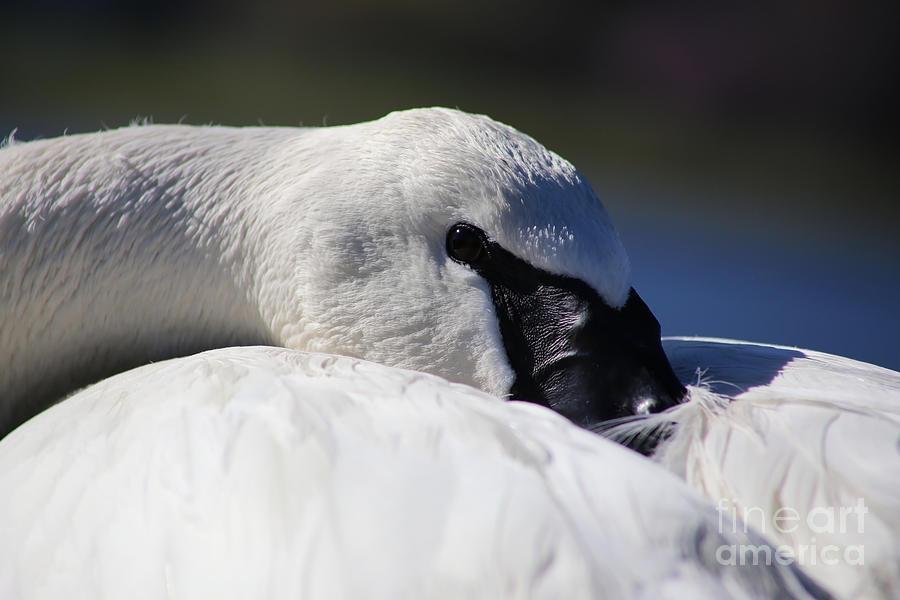 Swan Photograph - Beautiful Trumpeter Swan by Sue Harper