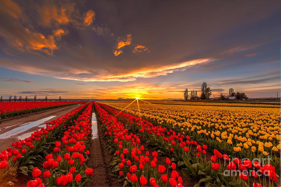 Beautiful Tulip Field Sunset Photograph By Mike Reid