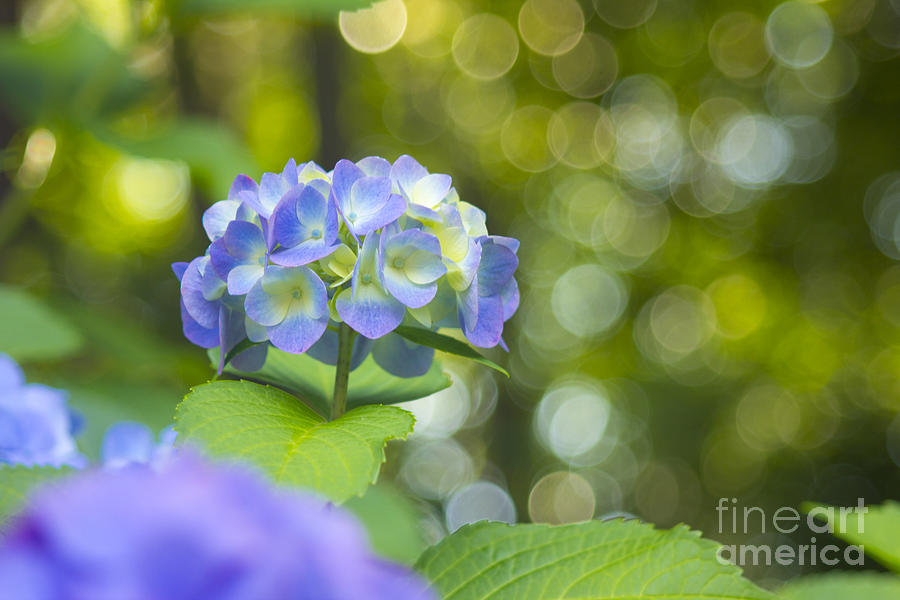Hydrangea Photograph - Beautiful Violet Hydrangea With Green Leaves And Bokeh Lights by Beverly Claire Kaiya