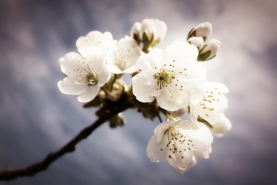 Beautiful White Blossoms Photograph