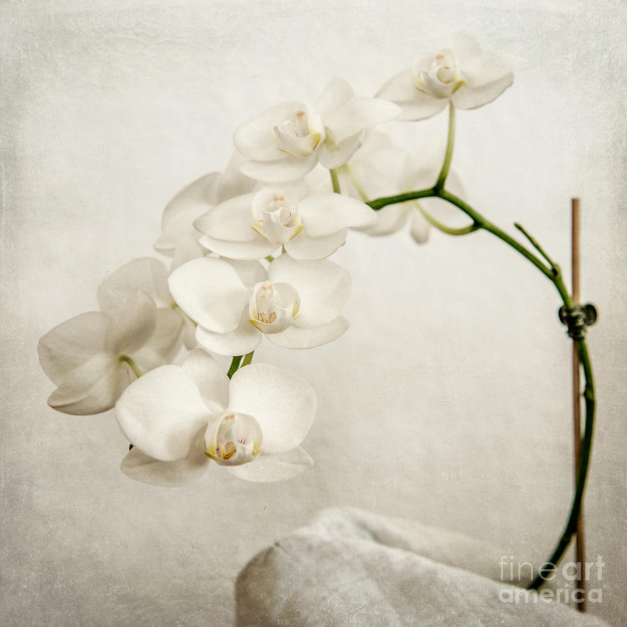 Asia Photograph - Beautiful White Orchid II by Hannes Cmarits