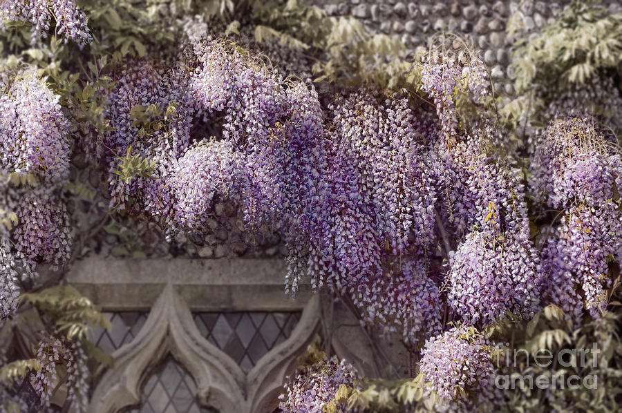 Anniversary Photograph - Beautiful Wisteria by Svetlana Sewell