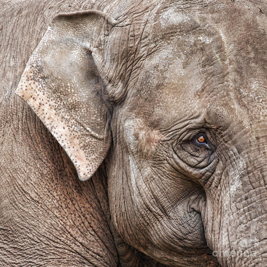 Elephant Photograph - Beautiful Wrinkles by The Soulosphere