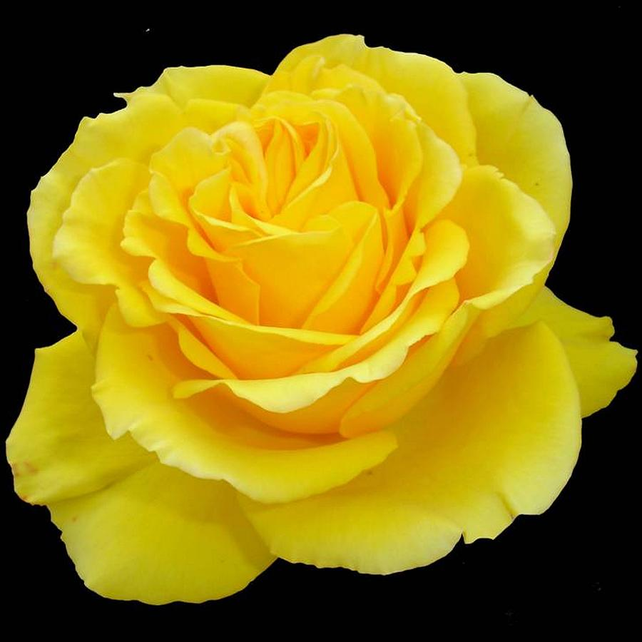 Beautiful Yellow Rose Flower on Black Background ...