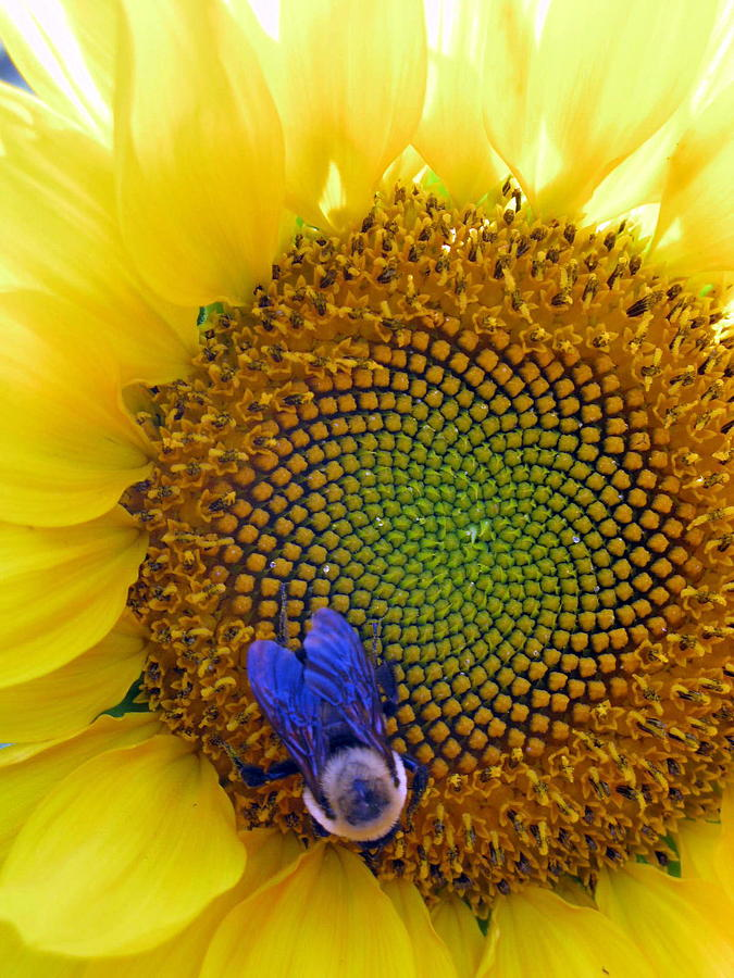 Sunflower Photograph - Beauty And The Bee by Laura Corebello
