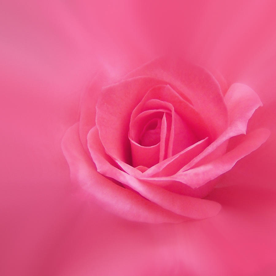 Rose Photograph - Beauty by Ernie Echols