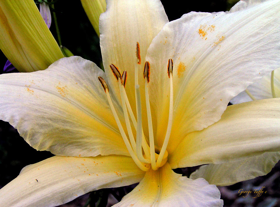 Lilies Photograph - Beauty by George Tuffy