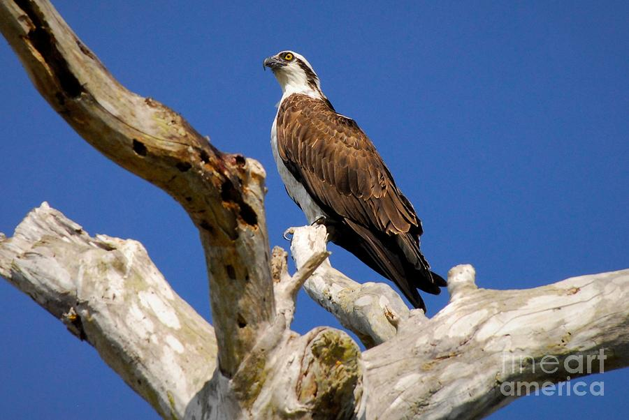 Osprey Photograph - Beauty In The Tree by Quinn Sedam