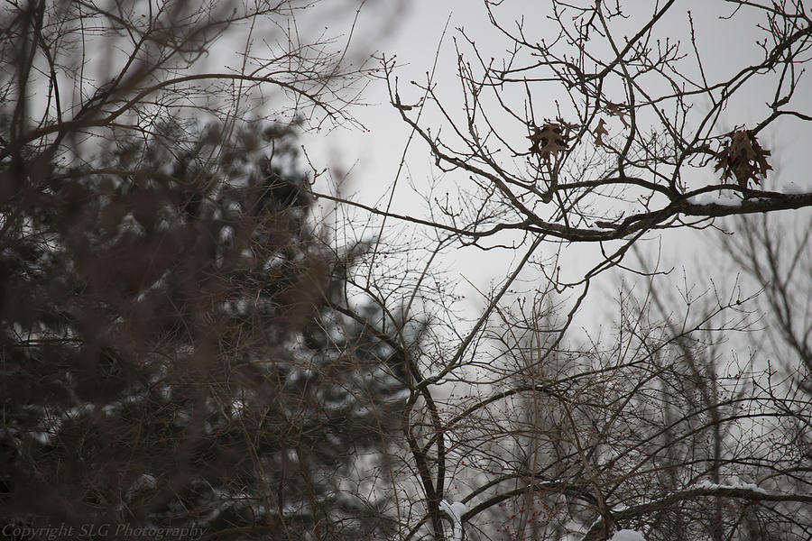 Trees Photograph - Beauty in Winter 2 by Stacie  Goodloe