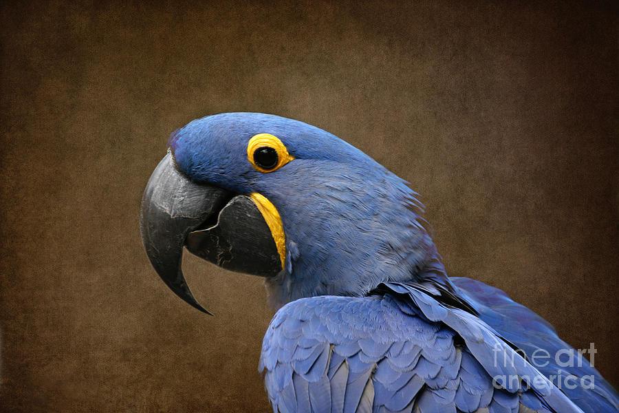Aloha Photograph - Beauty Is An Enchanted Soul - Hyacinth Macaw - Anodorhynchus Hyacinthinus by Sharon Mau
