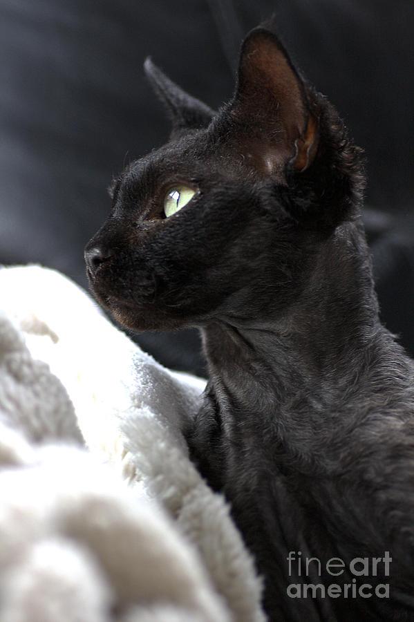 Devon Rex Cat Photograph - Beauty Of The Rex Cat by Joy Watson