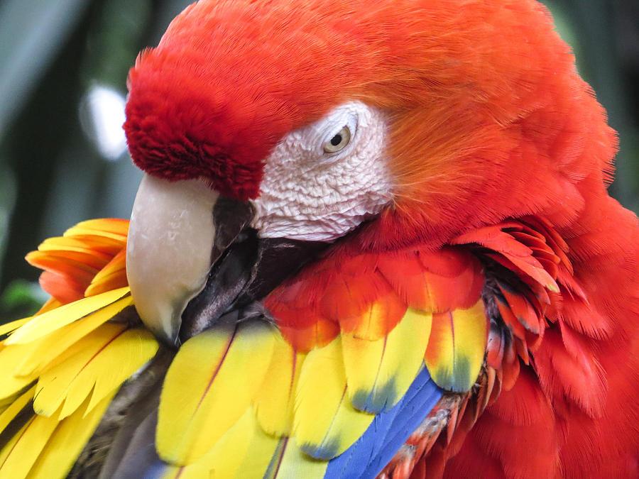 Parrot Photograph - Beauty Scarlet by Zina Stromberg