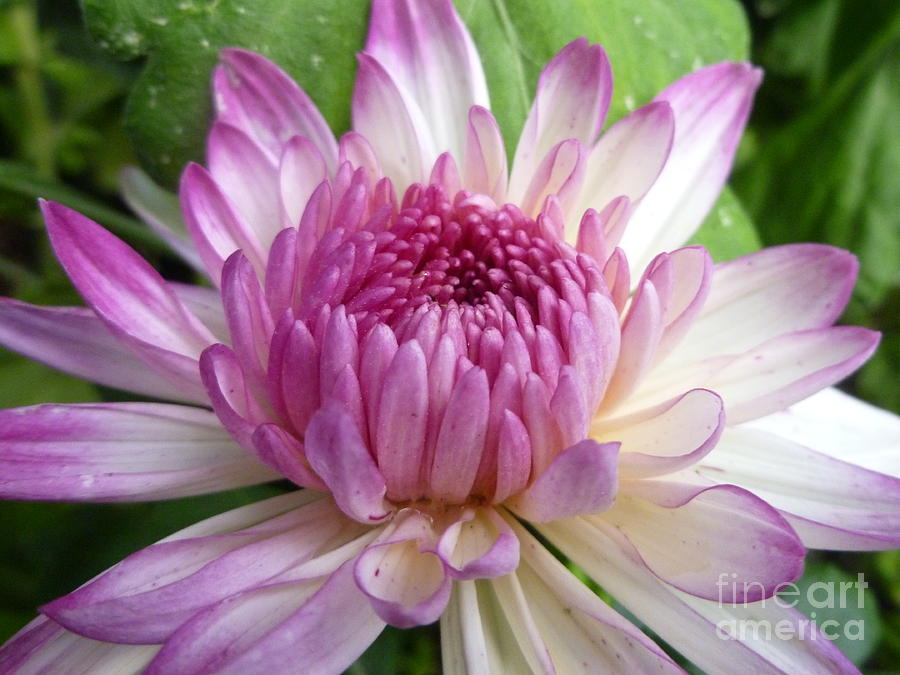 Flower Photograph - Beauty With Double Identity by Lingfai Leung