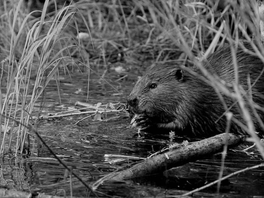 beaver by Jeremiah John McBride