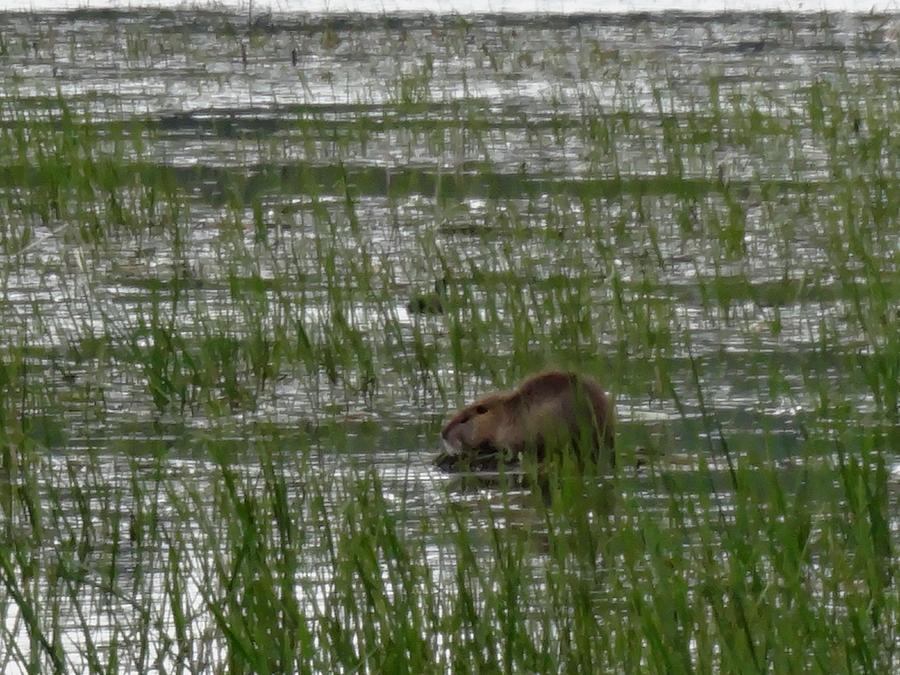 Ridgefield National Wildlife Refuge Photograph - Beaver On Rest Lake by Lizbeth Bostrom